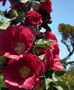 Çıralı rote Stockrose